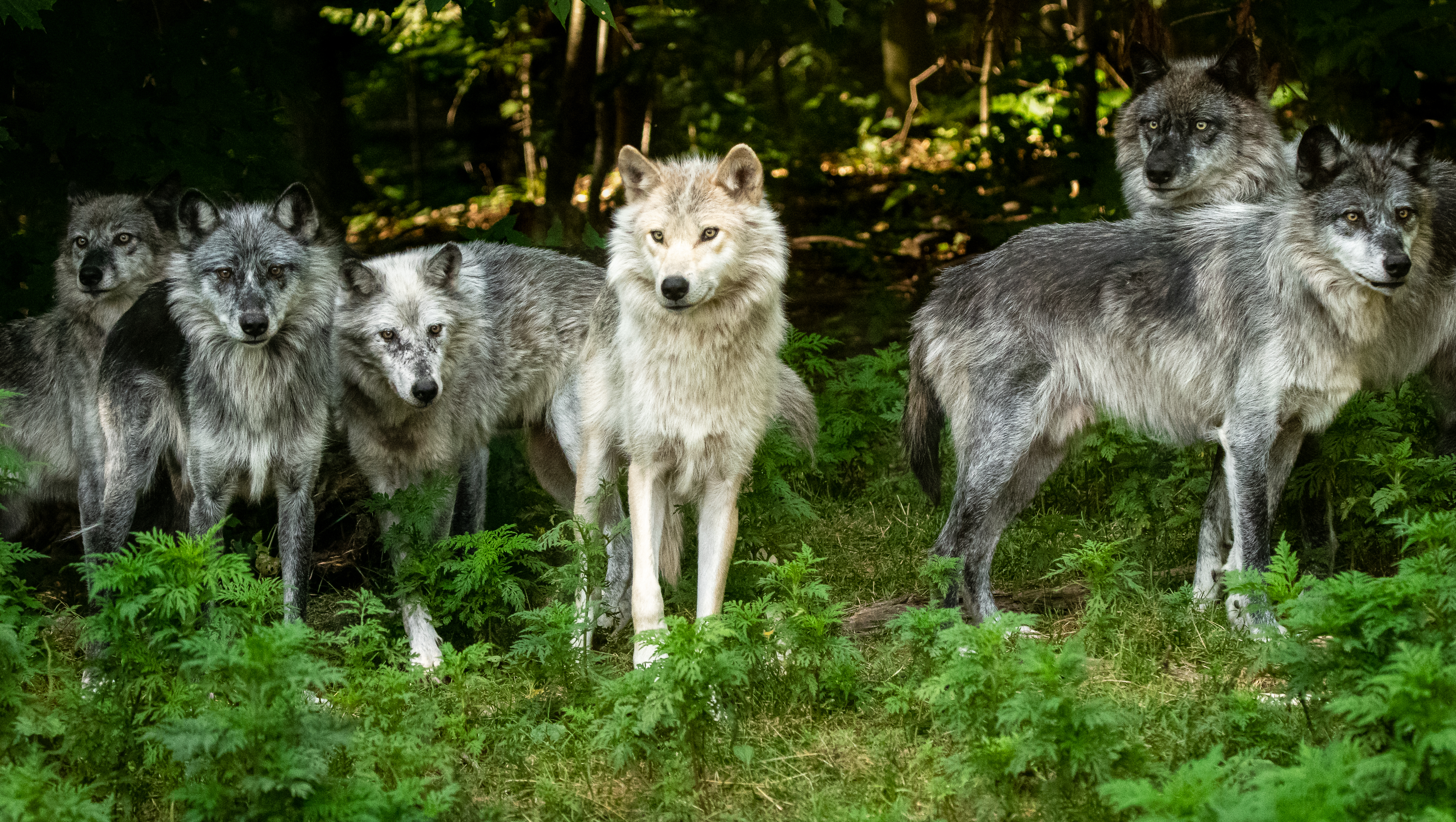 Haliburton Forest Wolf Centre Ontario (credit/ Stephanie Brown Photography)